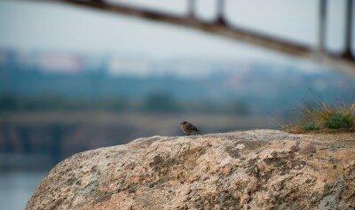Горихвостка смотрит на остров Хортицу