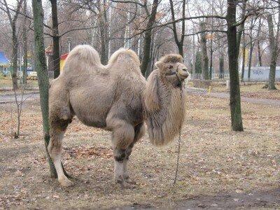 Верблюд в парке Дубовая роща (14.12.2011)