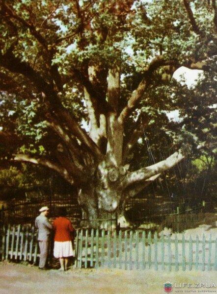 Запорожский дуб в 1964 году (60-е годы)