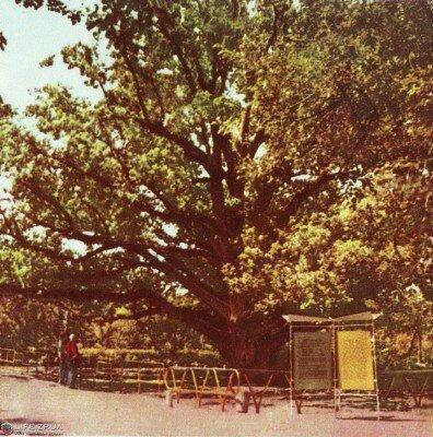 Запорожский дуб, 1968 год (60-е годы)