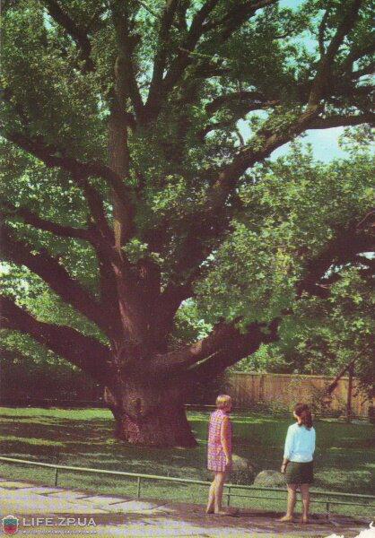 Запорожский дуб в 1973 году (70-е годы)