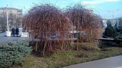 Деревья цветут на бульваре Шевченко 2015