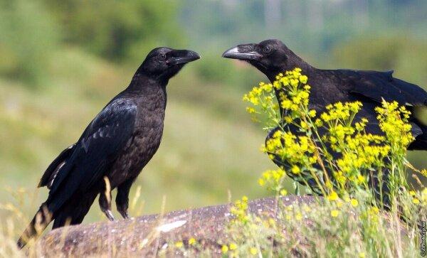 Два молодых ворона на скале Совутиной