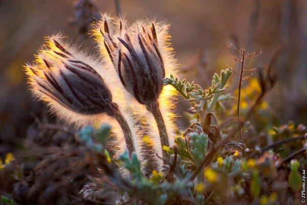 """Сон-трава в золотых лучах заходящего Солнца. Это красивое растение, занесённое в Красную книгу Украины, можно встретить весной на территории Национального заповедника """"Хортица""""."""