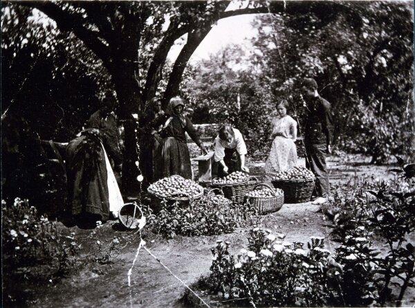 Хортица, яблочный урожай - 1914 год
