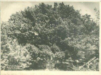 Запорожский дуб в 60-е годы. Возраст 700 лет.
