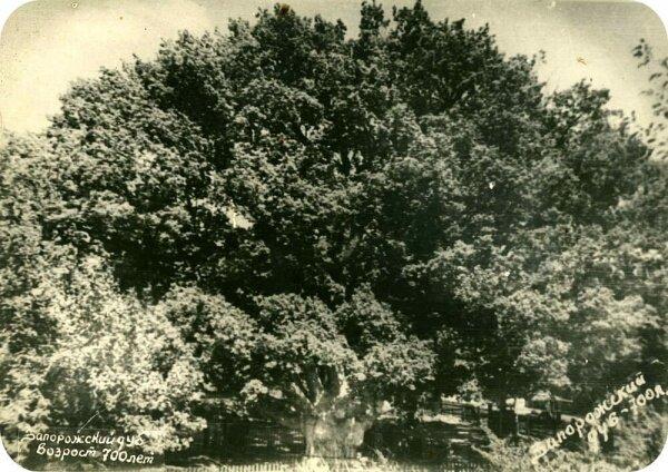 Запорожский дуб и его смотритель Нечипор Дейкун, 50-е годы
