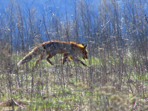 Дикая лиса на острове Хортица.