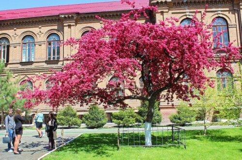 Красноцветная яблоня Недзвецкого возле третьего корпуса ЗНУ