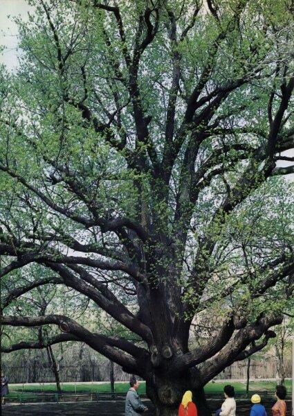 Еще зеленый Запорожский 700 летний дуб